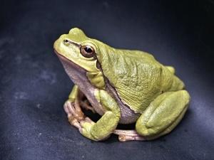 amfibija, žaba, zelena