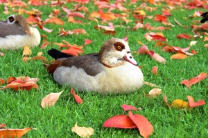 oiseaux, canards, herbe verte, automne, nature, animal, herbe