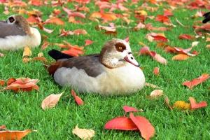 birds, ducks, green grass, autumn, nature, animal, grass