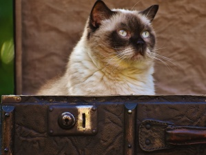 portrait, siamese cat, animal, case, kitten