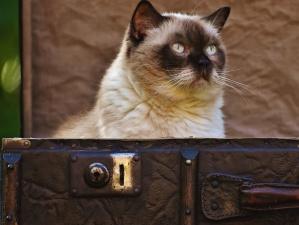 portrait, siamese cat, animal, case, kitten