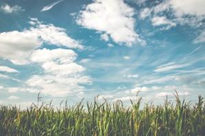 полето за жито, царевица, култури, поле, природа, стопанство, облаци, синьо небе