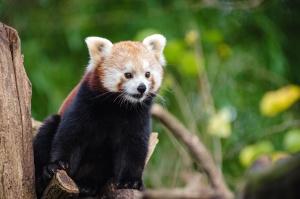 red panda, bear, tree, wildlife, animal