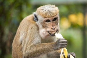 monkey, ape, banana, cute, eating, exotic animal