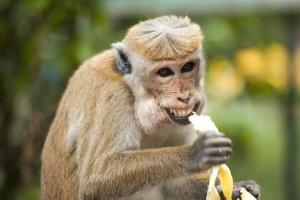 małpa, małpa, banan, Ładna, odżywiania, egzotyczny zwierzę
