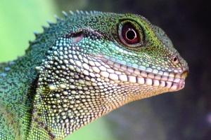 lucertola, camaleonte, animale, rettile, animale, camuffamento, degli animali esotici