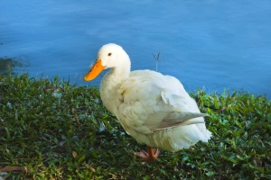 duck, feather, poultry, water, lake, waterfowl, animal, wing