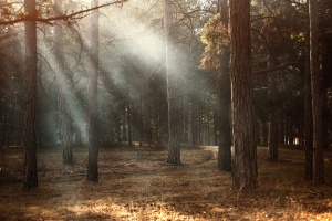 environment, fog, sunrise, trees, woodland, forest