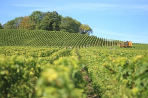 vineyard, agriculture, countryside, crops, field