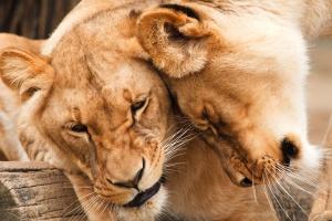 wild, lions, wildlife, Africa, animals, big cat