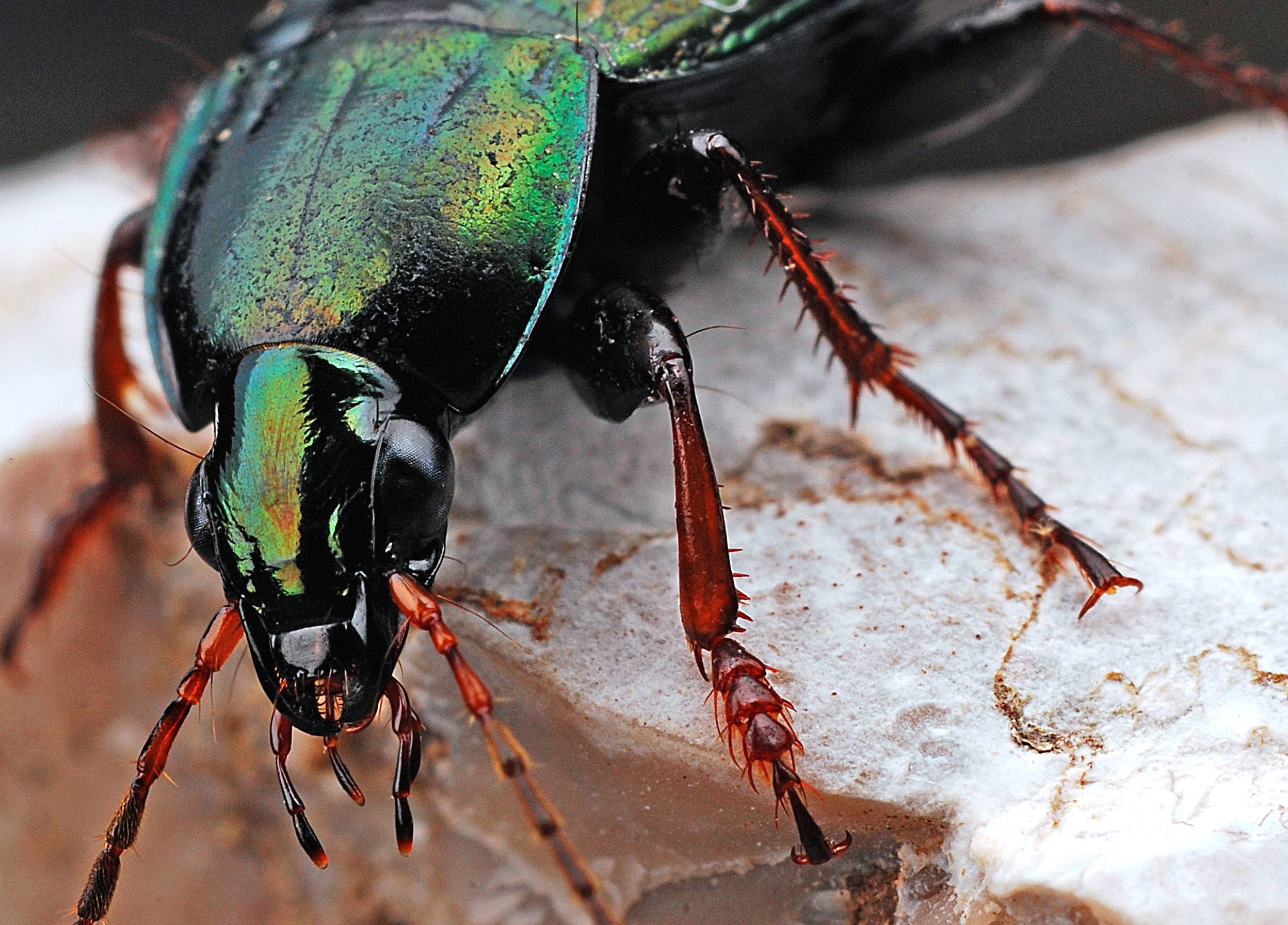 Free picture: insect, legs, nature, bug, head, beetle