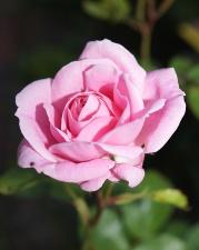 petals, rose, bloom, blossom, flora, garden