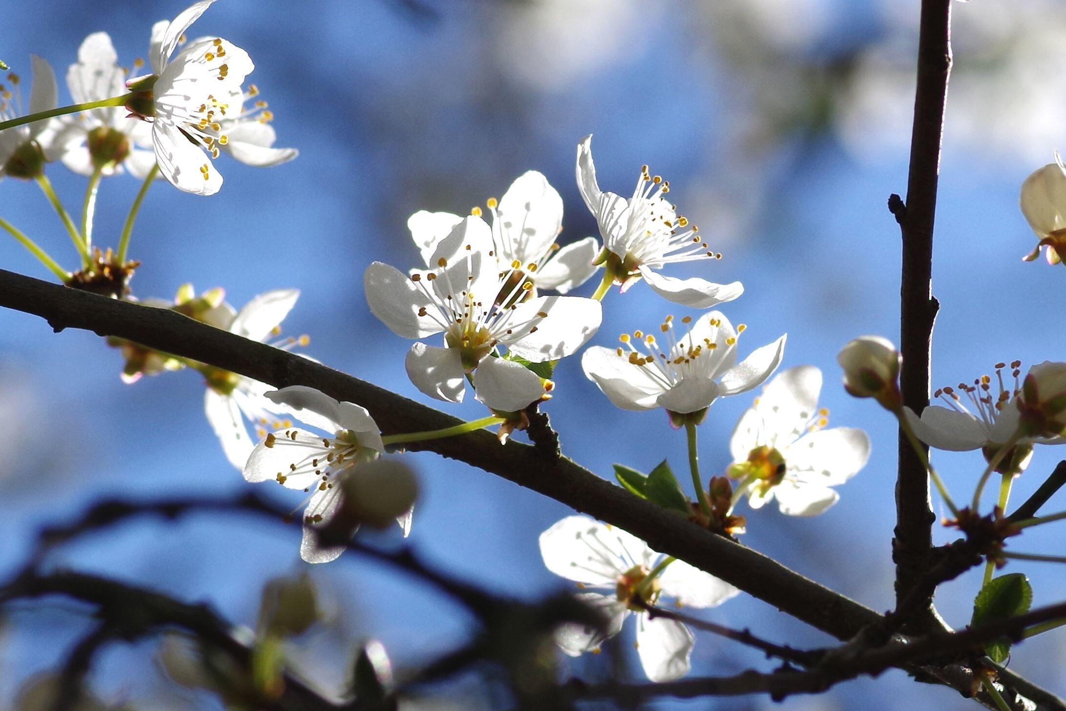 Δωρεάν φωτογραφία: λουλούδια, φύση, άνοιξη, ανθίζουν, κλαδιά