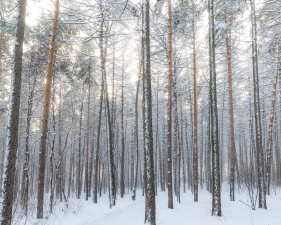 winter, woods, forest, snow, trees