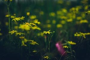 flowers, nature, petals, plants