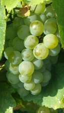 grapevine, green,  food, fresh, fruit, grapes