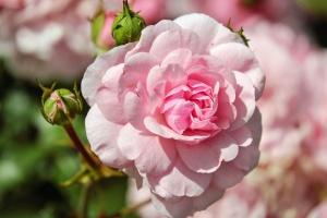 flower garden, flora, flower bud, flowers, bloom, blooming, petals, roses