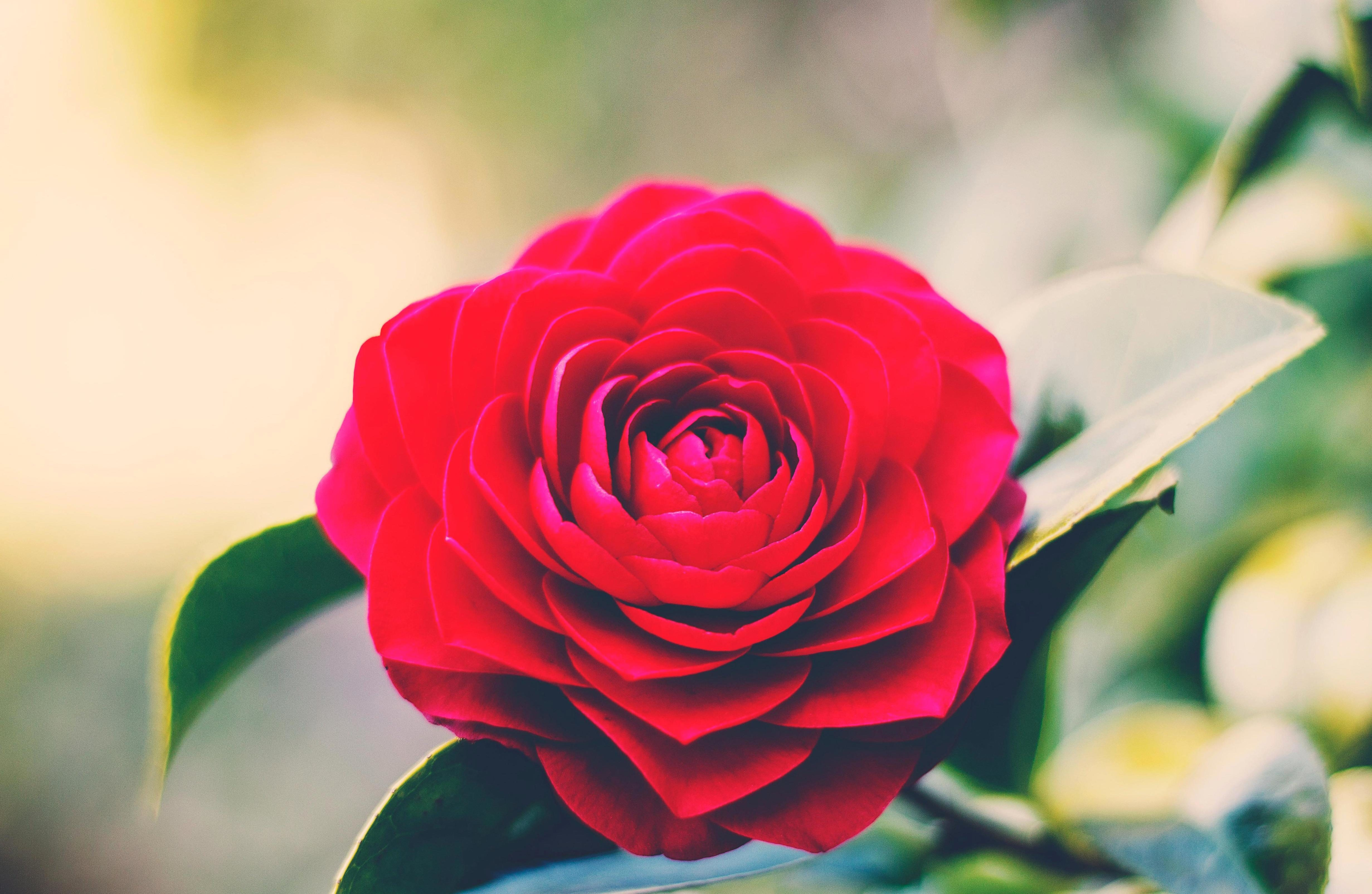 free picture: rose, flower, red, nature, garden