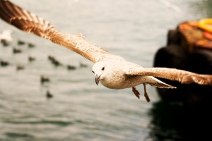 seagull, bird, flying, water, sea, birds, sky
