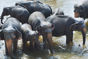 elephants, group, herd, Africa, mud, lake