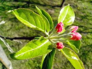 Apfelbaum, grüne Blätter, Blumen, Blütenknospe, Garten, Frühling