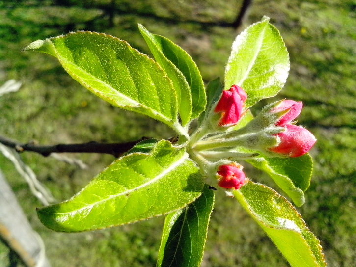 apple tree, green leaves, flowers, flower bud, garden, spring time