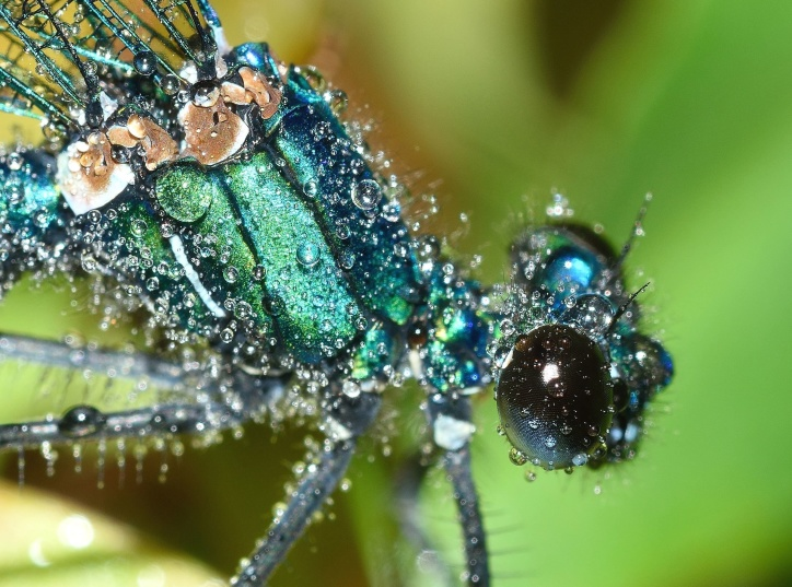 insekt, bugs, hvirvelløse, makro, dug