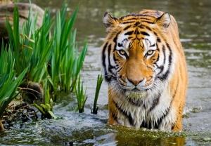 tigre, faune, nature, eau, prédateur, portrait