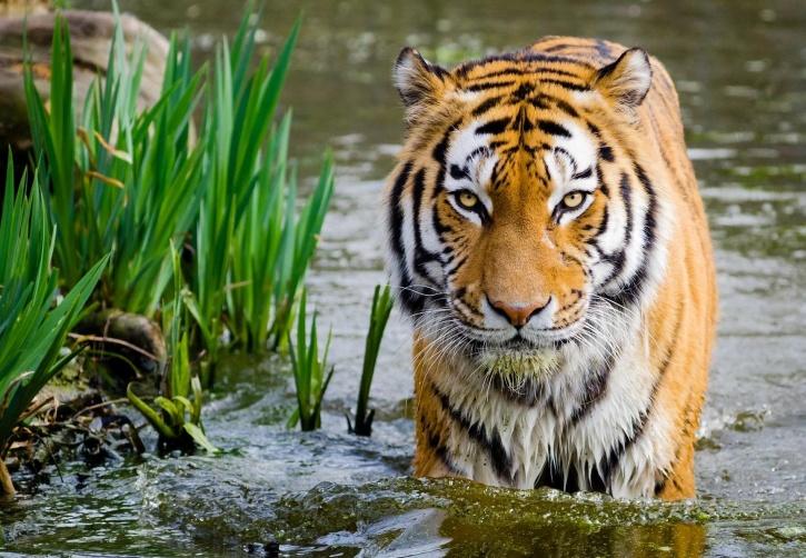 harimau, satwa liar, alam, air, predator, potret