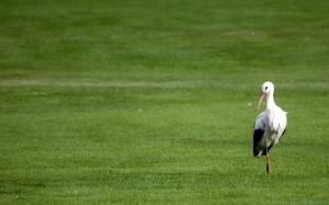 white stork, bird, field, green grass