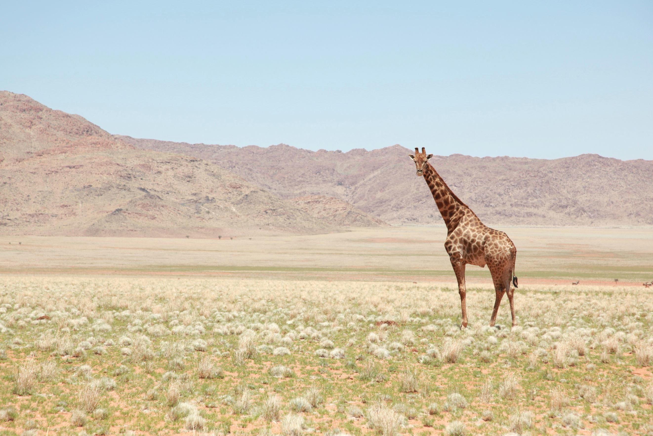 free picture giraffe grass grassland africa wildlife
