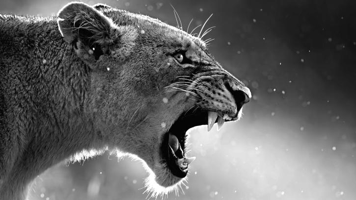 cazador, león, animal, fotografía, felino, piel