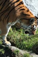 tijger, grote kat, bont, safari, strepen, carnivoor, predator