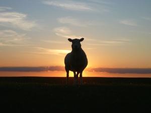 ovejas, silueta, cielo, puesta del sol