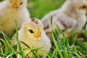 állat, baba, madár, csirke, fű