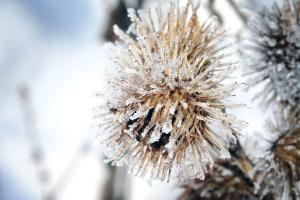 plant, snow, winter, flora, flower, frost