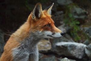renard, prédateur, faune, animal, carnivore, montagne