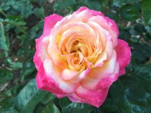 petals, plant, romantic, flora, flower, fragrant, fresh