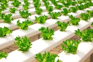 φύλλα, καλλιέργειες, γεωργία, μαρούλι, βιολογικά τρόφιμα, φυτικά, σαλάτα, λαχανικό