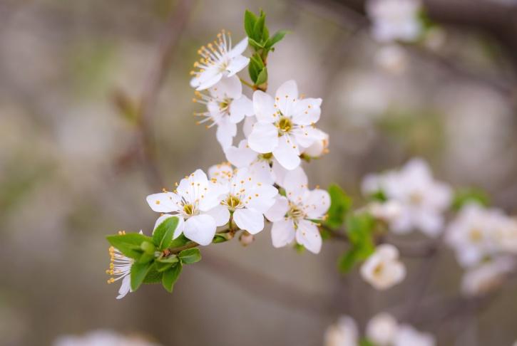 flora, hermoso, flores, pétalos, primavera, árbol