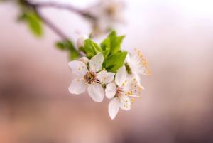 terälehtiä, kukka, flora, kaunis, oksat, puu, keväällä