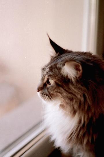 chat domestique, chat, verre de fenêtre, chaton