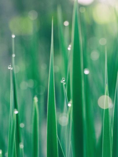grønt græs, vækst, dug, vand