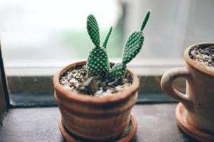 kaktus växt, thorn, exotisk, fräsch, växande