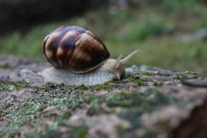 garden snail, mollusk, invertebrate, animal, fauna
