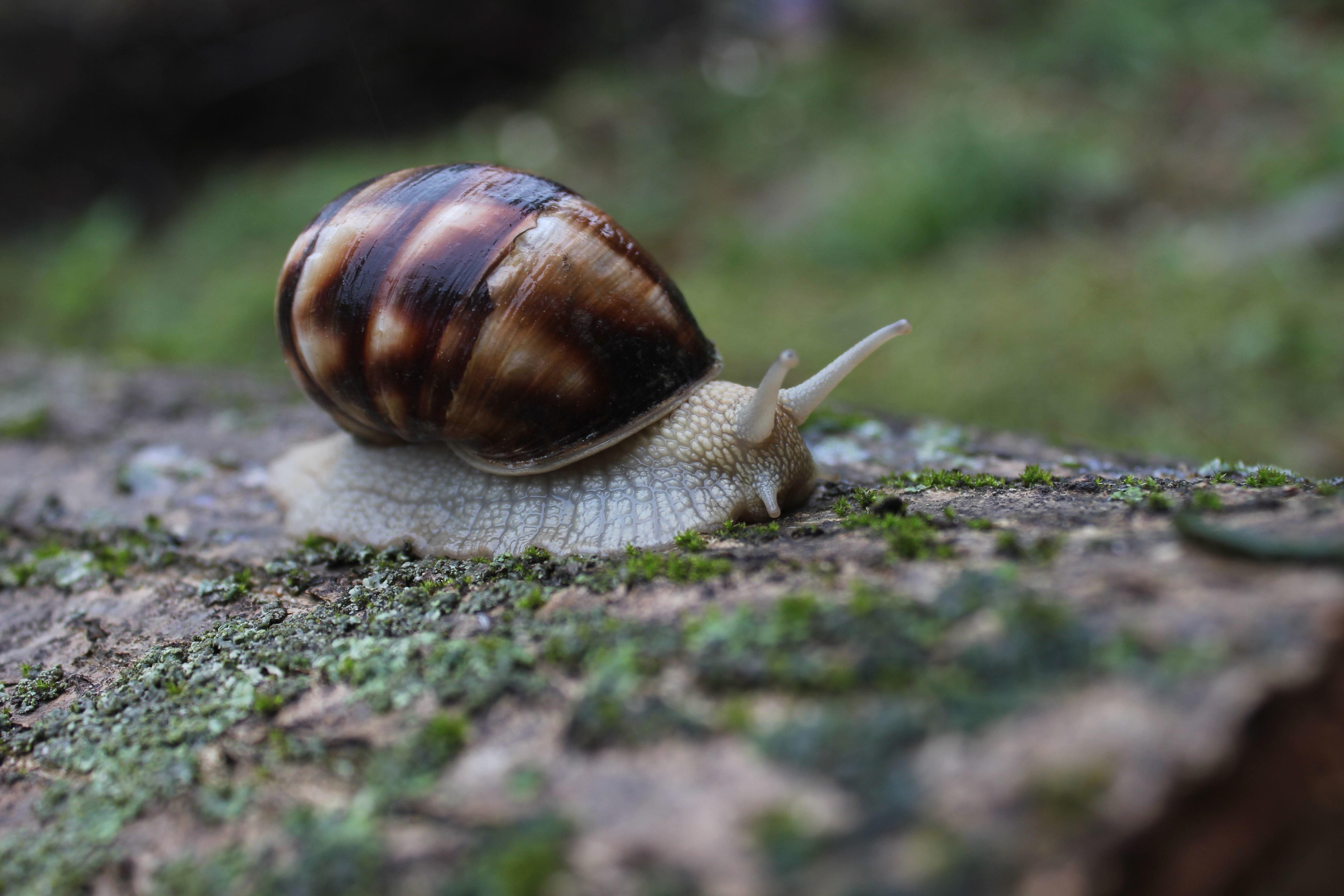 Imagen gratis caracol de jard n moluscos invertebrados for Caracol de jardin