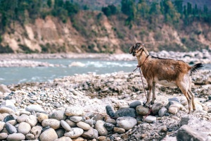 goat, animal, vertebrate, cattle, river, rocks