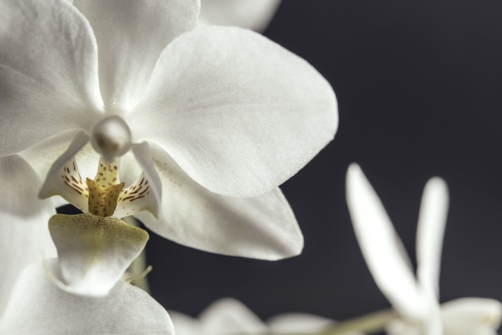 orchid flower, white orchid, exotic, petals