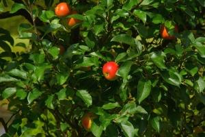 apple tree, summer, sweet, tree, delicious, food, fresh