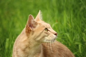 fur, grass, kitten, mammal, pet, domestic cat